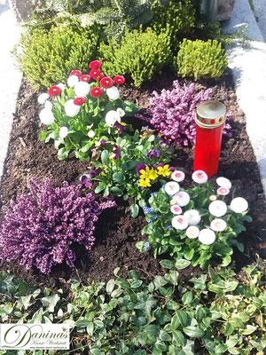 Grabbepflanzung Frühling mit bunten Bellis, Stiefmütterchen und Erika