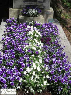 Grabbepflanzung Frühling mit blau-lila und weißen Stiefmütterchen