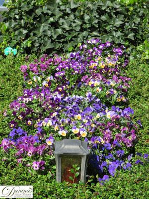 Grabbepflanzung Frühling mit lila StiefmütterchenGrabbepflanzung Frühling mit lila Stiefmütterchen