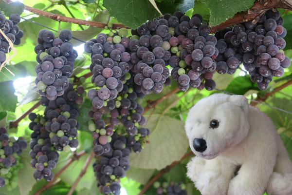 Ole bei der Weinlese in Taormina/Sizilien