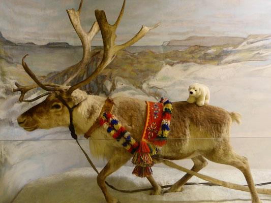 Ole lässt sich in Lappland von einem Rentier ziehen