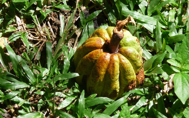 Das ist Kakao. Mit dieser unscheinbaren Pflanze begründeten die Kakaobarone früher ihren schier unermesslichen Reichtum.
