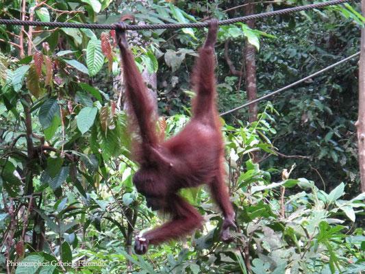 Orangutan Rehabilitation Centre in Sepilok (Photo by Gabriele Ferrando - LA MIA ASIA)