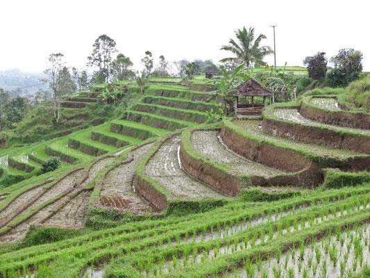 Terrazze di riso di Jatiluwih