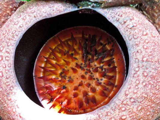 L'intermo della Rafflesia (Photo by Gabriele Ferrando - LA MIA ASIA)