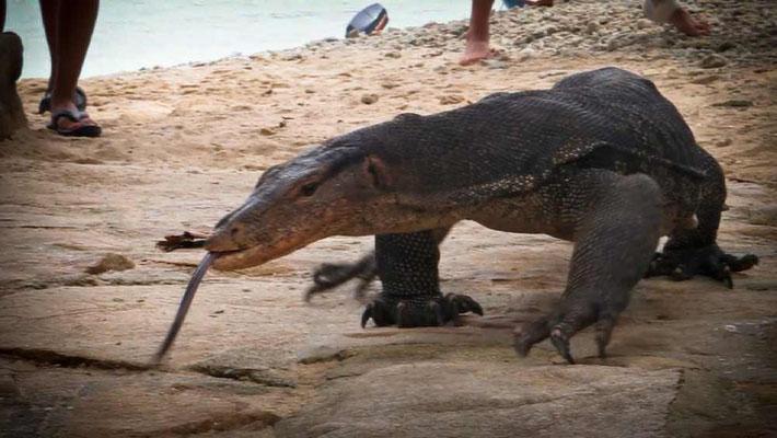 Monitor Lizard (Varano gigante) a Perhentian Kecil (Photo by Gabriele Ferrando - La MIA ASIA)