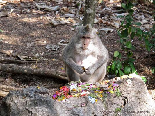 Scimmia al tempio di Uluwatu