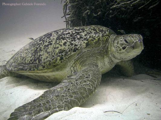 Immersione a Mabul, tartaruga gigante (Photo by Gabriele Ferrando - LA MIA ASIA)