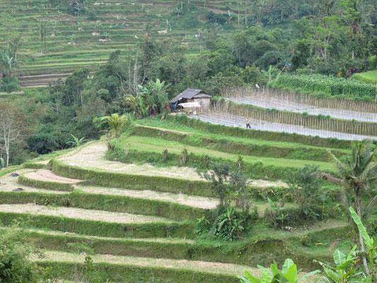 Terrazze di riso di Jatiluwih a Bali