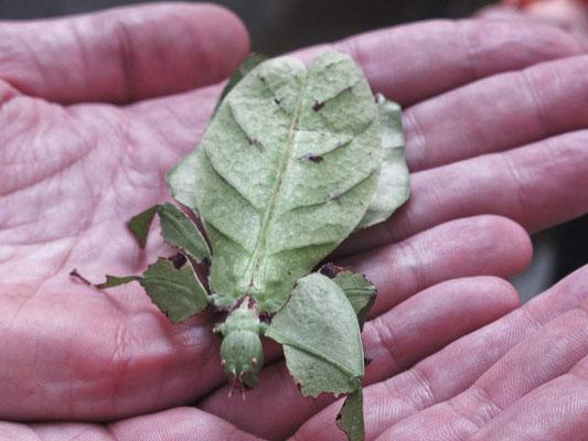 Un insetto foglia, grande quanto la mia mano (Photo by Gabriele Ferrando - LA MIA ASIA)