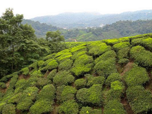 Piantagioni di Tè a Cameron Highlands (Photo by Gabriele Ferrando - LA MIA ASIA)