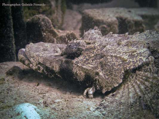 Immersione a Mabul, Crocodile Fish (Photo by Gabriele Ferrando - LA MIA ASIA)