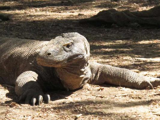 Drago di Komodo (Photo by Gabriele Ferrando - LA MIA ASIA)