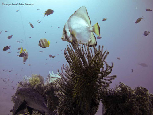 Immersione a Mabul, Bat Fish (Photo by Gabriele Ferrando - LA MIA ASIA)