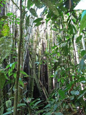 Foresta di Bamboo a Cameron Highlands (Photo by Gabriele Ferrando - LA MIA ASIA)