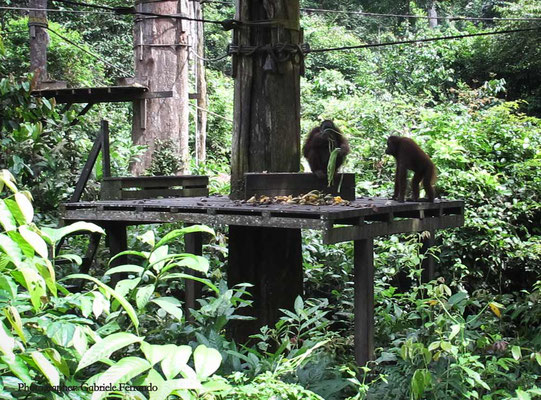 Orangutan Rehabilitation Centre in Sepilok (Photo by Gabriele Ferrando - LA MIA ASIA)