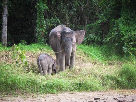 Kinabatangan River. Elefanti pigmei (Photo by Gabriele Ferrando - LA MIA ASIA)