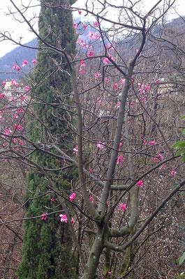 Magnolien blühen bevor die Blätter austreiben