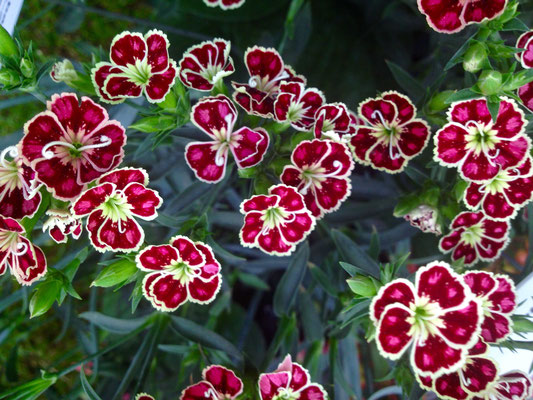 Bartnelke (Dianthus barbatus KC-17-369)
