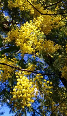 Mimosen - sind im Frühling ein gelber Blickfang in den noch weitgehend laubfreien Tessiner Wäldern