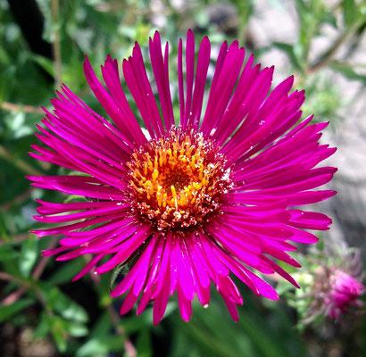 Herbstaster - kräftige Farben und viele Blüten machen sie zum Hingucker im Herbstgarten