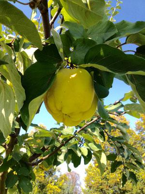 Quitten - herrlich für leckeres Gelee