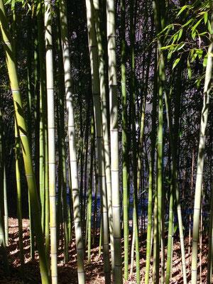 Ein Riesengras: Bambus