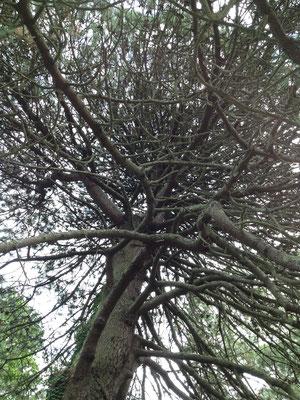 Einer der vielen Baumriesen des Gartens