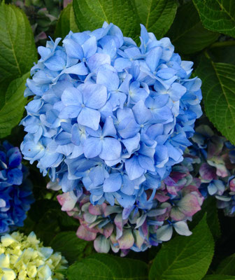 Am selben Strauch: Wenn die Blüten älter werden, wechseln sie zu sattblau