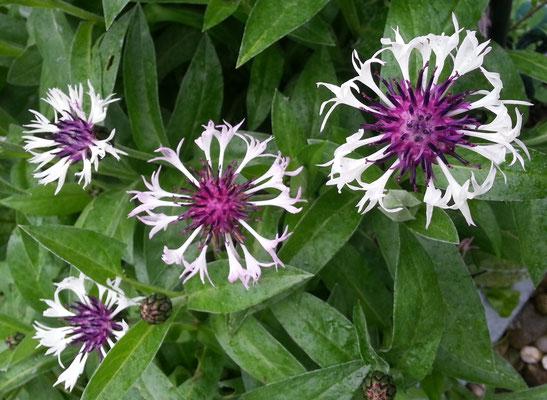 Flockenblume - eine wunderschöne Sorte, überlebt jedoch nicht ausserhalb des Schneckenzauns