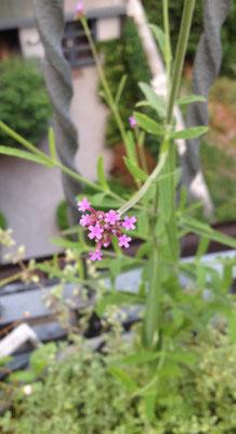Eisenkraut - Verbena bonariensis