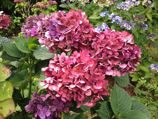... zu älter - schöne Farbspiele an einer Pflanze