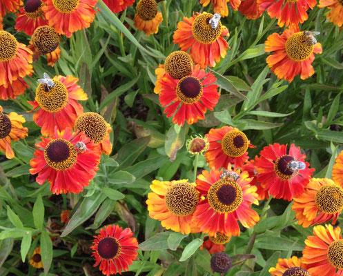 """Sonnenbraut (Helenium """"Potter's Wheel) - ein Bienenmagnet"""