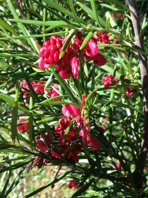 Sieht aus wie eine Häuschenschnecken-Konferenz: Australische Silbereiche mit ungeöffneten Blüten