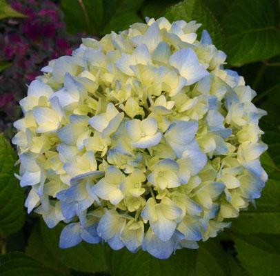 Hortensienblüte frisch aufgeblüht zartblau