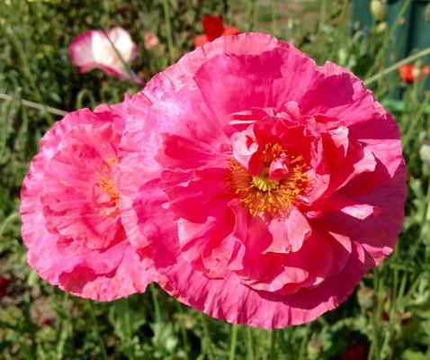 Mohn aus einer Samenmischung - Variante 3 - sieht aus wie eine Rose, das Zentrum verrät jedoch, dass es sich um Mohn handelt