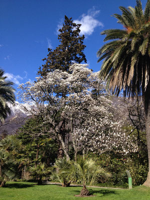Gartenansicht mit Magnolie und Phönixpalme