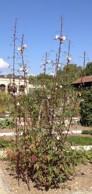Roselle (Hibiscus sabdariffa) bis drei Meter hoch!