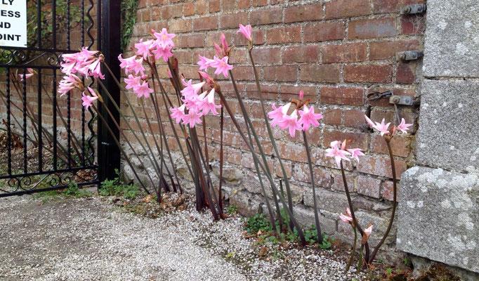 Wunderbare Blüten aus dem baren Kiesboden gewachsen - auch in der Gärtnerei beim Ausgang konnte uns niemand sagen, um welche Pflanze es sich handelt :(
