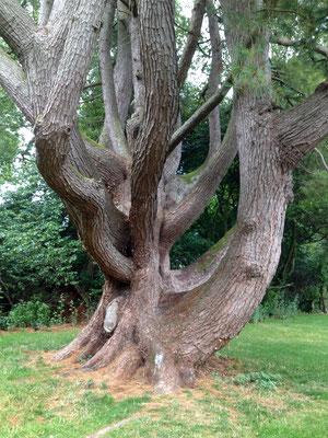 Gehören einfach zu den britschen Gärten: Baumriesen