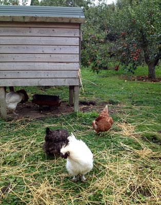 Hühner im Obstgarten