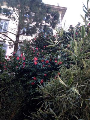 Kamelien lieben den Schatten, sie sind auf der Insel nur auf der Rückseite der ehemaligen Villa Emden zu finden