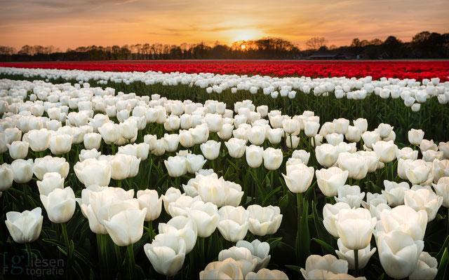 De Tulpenvelden bij Schoonloo (april 2019) Schoonloo, Drenthe