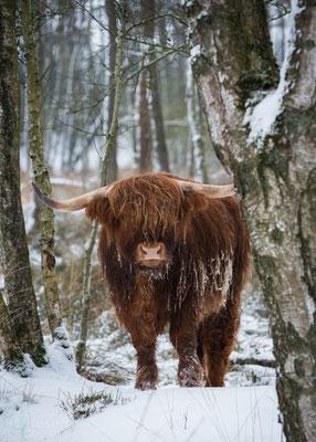 Een ontmoeting met een Schotse Hooglander ( januari 2019) Gasteren, Drenthe