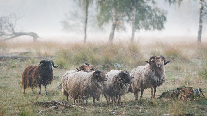 Een mooie kudde schapen op Lunsveen in een mistige wereld (oktober, 2018) Borger, Drenthe