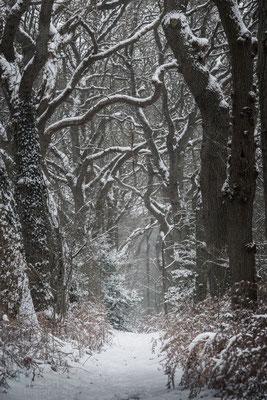 Een laan met mooie grote Eiken (januari 2019) Gasteren, Drenthe