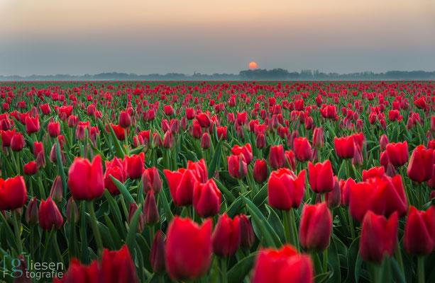 Zonsondergang boven de tulpen (april 2018) Valthermond, Drenthe