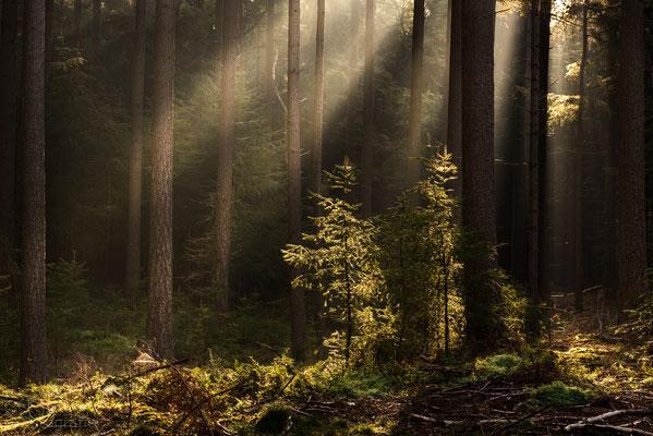 Jonge sparren opgelicht door zonneharpen (oktober, 2018) Odoorn, Drenthe
