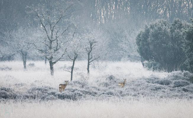 Reeën in een landschap vol rijp (januari 2018) Mantinge, Drenthe
