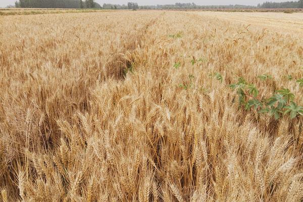Chinese wheat straw...